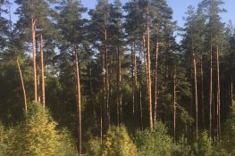 Gallery Image: Siberian Pine Forest